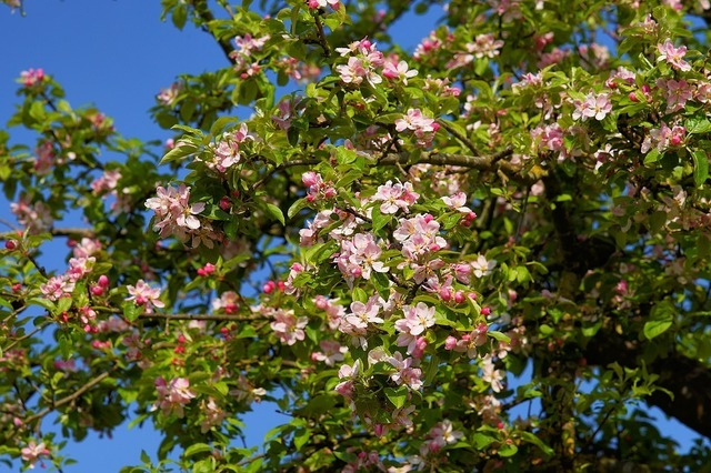 apple-tree-blossom-2292598_960_720.jpg